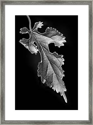 Grapeleaf Anemone Framed Print by Nikolyn McDonald