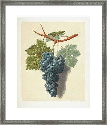 Grapes Framed Print by British Library