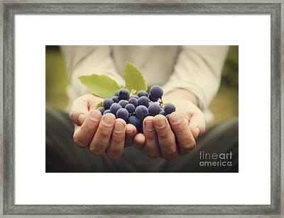 Grapes Harvest Framed Print