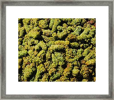 Grapes In A Vineyard, Domaine Carneros Framed Print