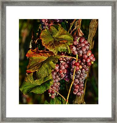 Grapes In The Morning Sun Framed Print by Martin Belan