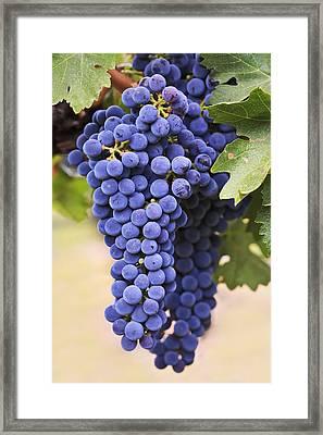 Grapes Merlot Red Wine Variety Growing Framed Print by Ken Gillespie