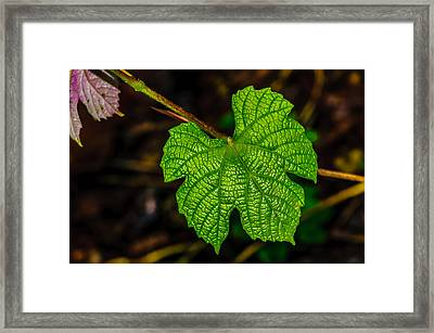 Grapes Of Rath Framed Print by Louis Dallara