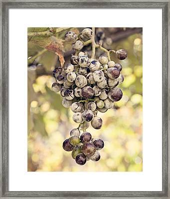 Grapes On The Vine Framed Print by Angela Bonilla