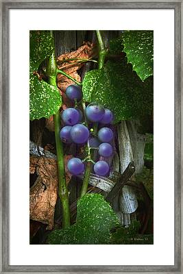 Grapes On The Vine Framed Print by Brian Wallace