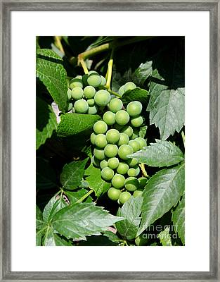 Grapes On The Vine Framed Print by Carol Groenen