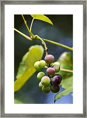 Grapes On The Vine Framed Print by Christina Rollo