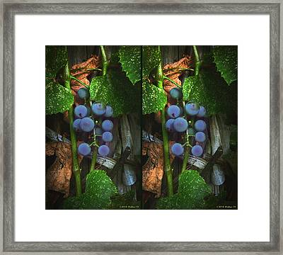 Grapes On The Vine - Gently Cross Your Eyes And Focus On The Middle Image Framed Print