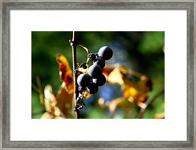 Grapes On The Vine No.2 Framed Print