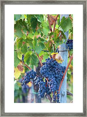 Grapes Ready For Harvest On The Tuscan Framed Print