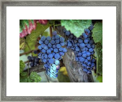 Grapevine Framed Print