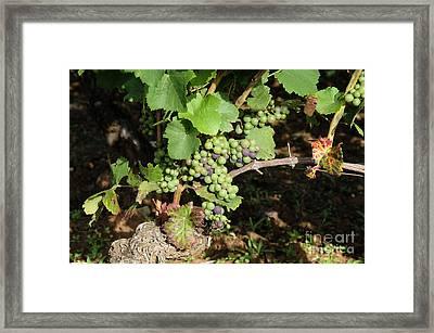 Grapevine. Burgundy. France. Europe Framed Print by Bernard Jaubert