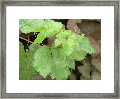 Framed Print featuring the photograph Grapevine by Laurel Powell