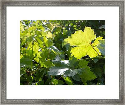 Grapevine Spring Leaves  Framed Print by Heidi Smith