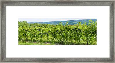 Grapevines In A Vineyard, Finger Lakes Framed Print by Panoramic Images
