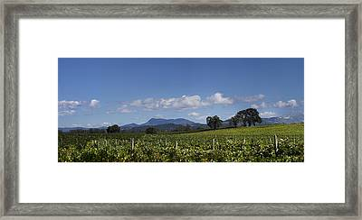 Grapevines Of Saint Helena Framed Print by Stan Angel