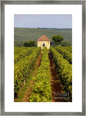 Grapevines. Premier Cru Vineyard Between Pernand Vergelesses And Savigny Les Beaune. Burgundy. Franc Framed Print