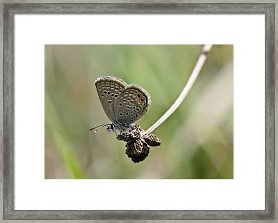 Grass Jewel Butterfly Framed Print by Bob Gibbons