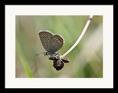 Mediterranean Butterfly Framed Prints