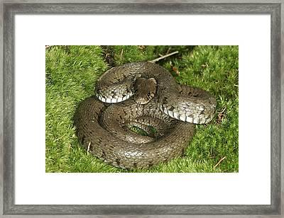 Grass Or Ringed Snake Framed Print