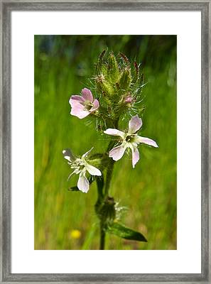 Grass Pink In Park Sierra-ca Framed Print by Ruth Hager