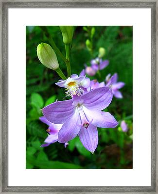 Framed Print featuring the photograph Grass Pink Orchid by William Tanneberger