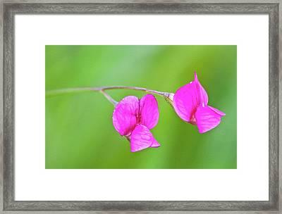 Grass Vetchling (lathyrus Nissolia) Framed Print
