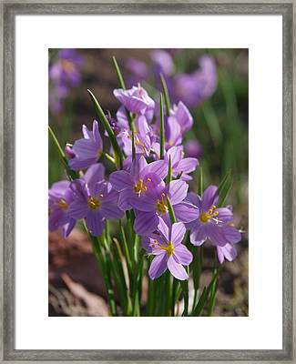 Grass Widow Framed Print by Jenessa Rahn