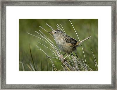 Grass Wren Framed Print by John Shaw