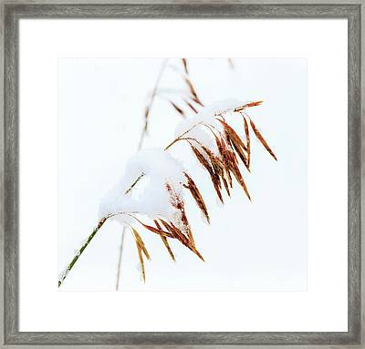 Grasses, First Snow Of October Framed Print