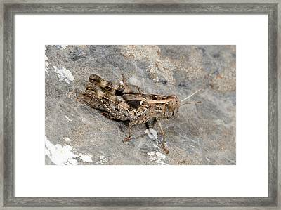Grasshopper Calliptamus Barbarus Juvenile Framed Print by Nigel Downer