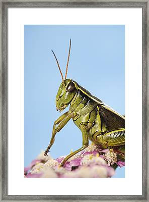 Grasshopper Close-up Framed Print by Thomas Kitchin & Victoria Hurst