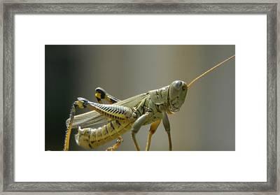 Grasshopper In Profile Framed Print by David  Ortiz