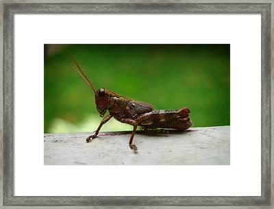 Grasshopper Framed Print by Kara  Stewart