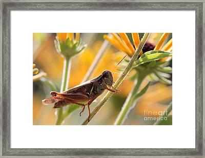 Grasshopper On Coneflower Stem Framed Print