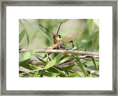 Grasshopper Peeking At Me Framed Print