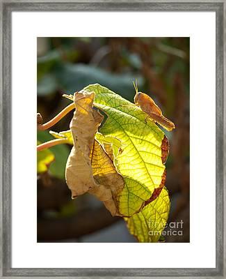 Grasshopper Pest Framed Print by Sinisa Botas