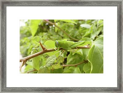 Grasshopper Framed Print by Steve Allen/science Photo Library
