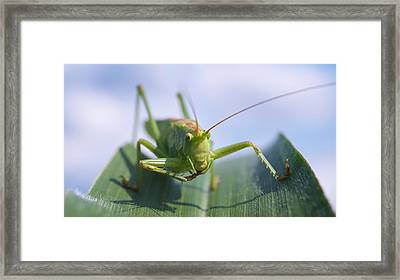 Grasshopper Framed Print by Tilen Hrovatic