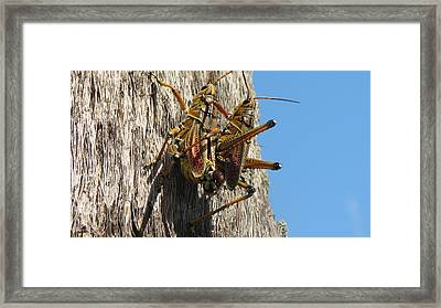 Grasshoppers Framed Print by Fortunate Findings Shirley Dickerson