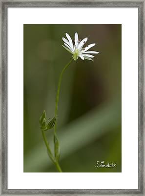 Grassleaf Starwort Framed Print by Stephane Loustalot