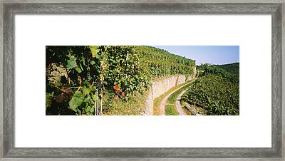 Gravel Road Passing Through Vineyards Framed Print