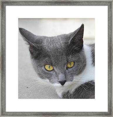 Gray Cat - Listening Framed Print by Tine Nordbred