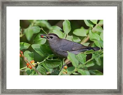 Gray Catbird (dumetella Carolinensis Framed Print by Larry Ditto