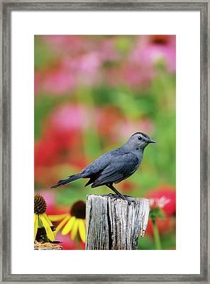 Gray Catbird (dumetella Carolinensis Framed Print