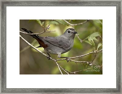 Framed Print featuring the photograph Gray Catbird by Meg Rousher