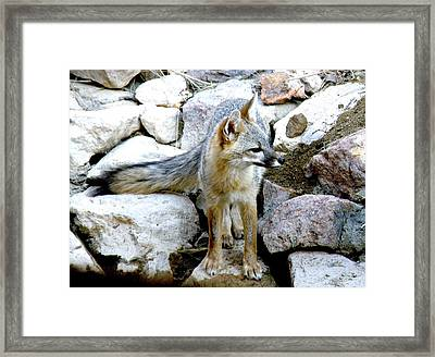 Gray Fox At The Oasis Framed Print by Feva  Fotos
