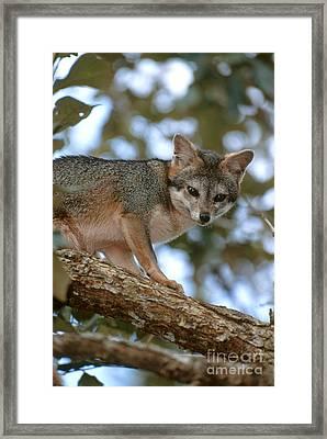 Gray Fox In A Tree Framed Print by Art Wolfe