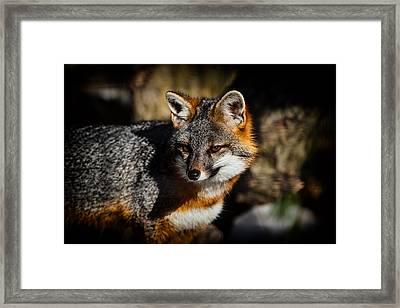 Gray Fox Framed Print by Karol Livote