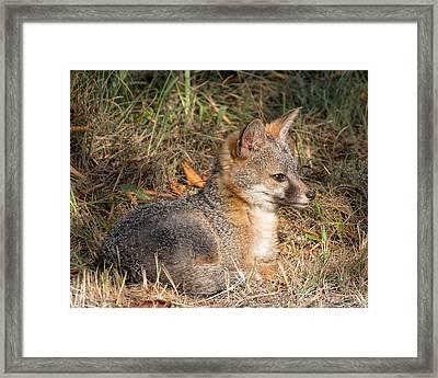 Gray Fox Kit Framed Print